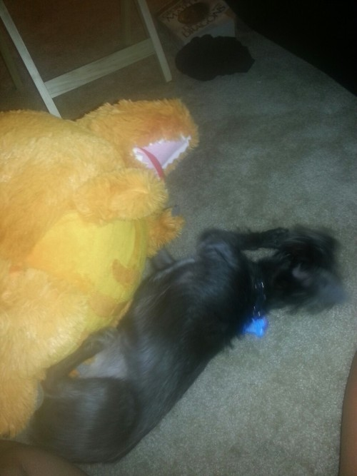 sherylockholmes:   A lot of happy things happened today, but I'll go with my belated birthday present Utahraptor. Here's an action shot of him attacking Jake. Doggie vs. Dino!