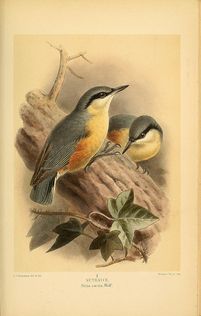 jomobimo:  Nuthatch, Coloured Figures of the Birds of the British Islands / issued by Lord Lilford, 1885-1897