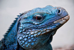 all-reptiles:  Blue Iguana