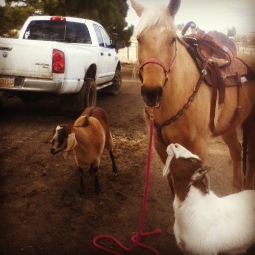 The goats both love Dreamer. #goat #pony #love