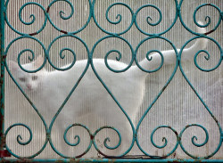 A cat seen behind a transparent gate in Bucharest, Romania on May 17, 2013. [Credit : Vadim Ghirda/AP]