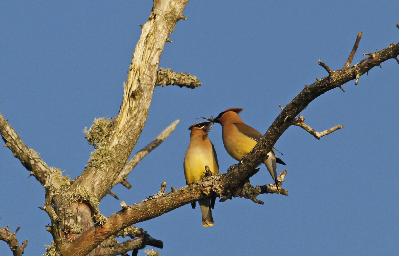 Photo of the Day (http://ncpr.org/photo): Pair of Cedar Waxwings sharing an evening snack on the shoreline of Lake Ozonia. Photo by Joe Woody on June 27, 2014