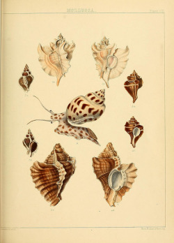 scientificillustration:  The Zoology of the voyage of H.M.S. Samarang, under the command of Captain Sir Edward Belcher by BioDivLibrary on Flickr. London :Reeve and Benham,1850 [i.e. 1848-1850].biodiversitylibrary.org/page/39771046