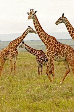 h4ilstorm:  Giraffe Family (by Picture Taker 2)