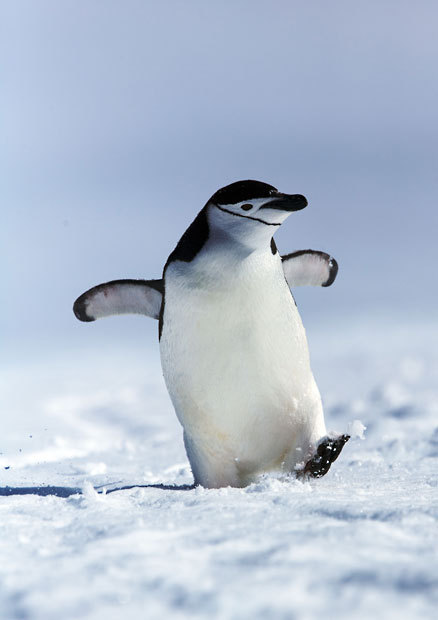 theanimalblog:  A penguin seems to give a cheeky grin as he strides through the snow with a spring in his step. The chinstrap penguin was snapped by German photographer Andreas Kutsch at Spigot Point, Antarctica. Picture: ANDREAS KUTCH / CATERS NEWS