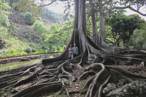 Tourists standing next to a Moreton Bay fig tree (2012)