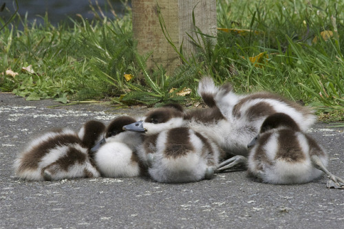 fat-birds:  downy huddle - Putangitangi - paradise shelduck - Tadorna variegata by Steve Attwood on Flickr. LOOK HOW SASSY THE ONE ON THE RIGHT IS