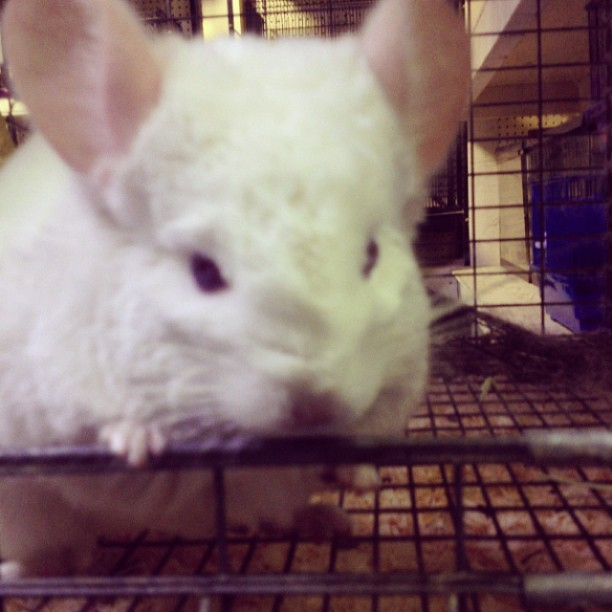 dibu3o5:  Visiting my #chinchilla friend!