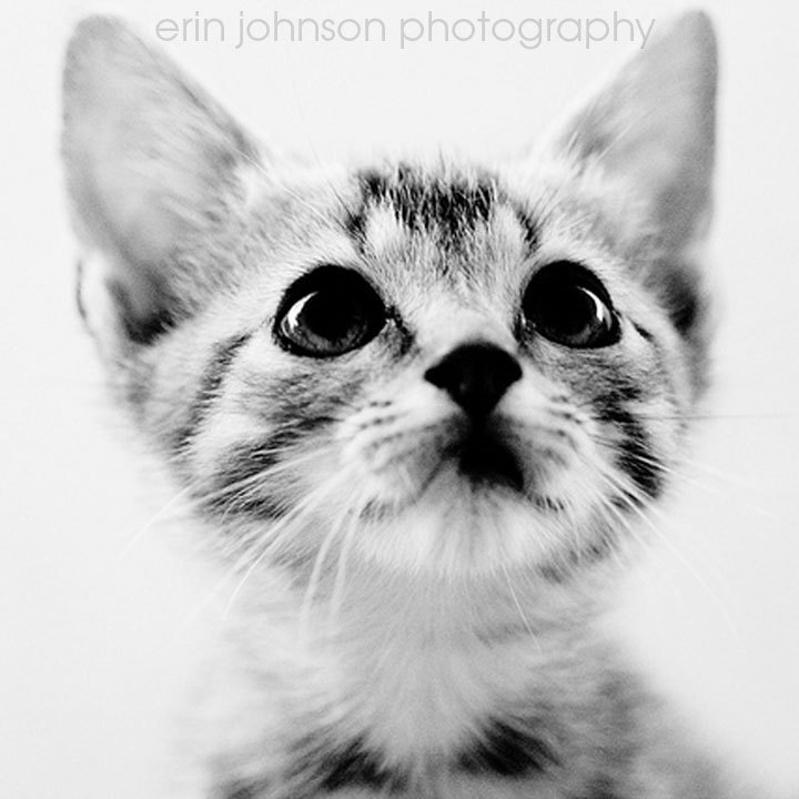 cat photography black and white fine art kitten baby animal photograph nursery wall art home decor Sweet Kitten 5x5 by eireanneilis (15.00 USD) Animal Photography, Black And White, Cat Photography, Cat Photograph, Ktten Wall Art, Kitten Home Decor, Nursery Wall Art, Nursery Home Decor, Baby Animal Art, Erin Johnson, Black White Decor, Cat Home Decor