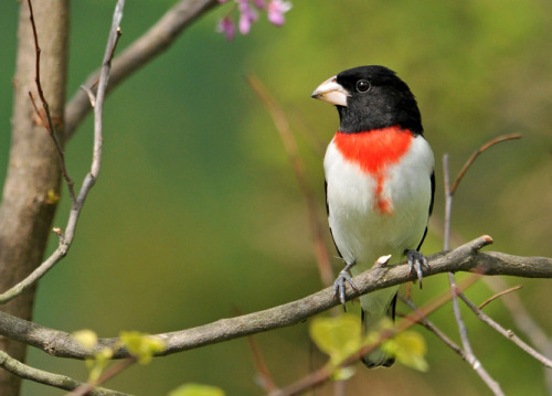 thalassarche:  Rose-breasted Grosbeak (Pheuticus ludovicianus) - photo by Jerry Acton