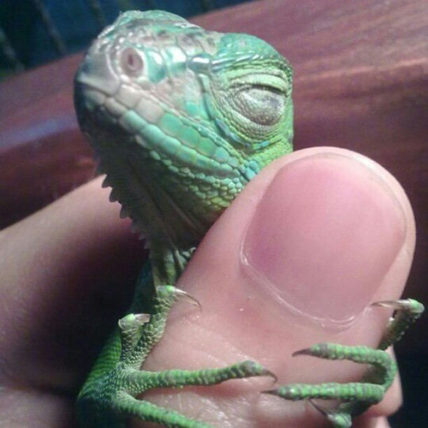 3ahia:  May 2010 : Puppy Kuntum, my beloved baby iguana, hugging my thumb while taking a sweet sleep~ Puppy was a few weeks old~ how can i not go obsessed over this beautiful creature. Look at him~!! He's smiling~*+*+ Sleeping Puppy is my peaceful zen.  #iguana #reptile #puppyKuntum