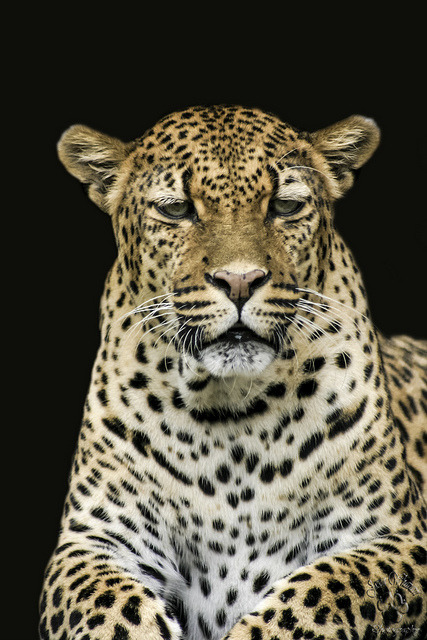 Leopard (by Jason Wharam)