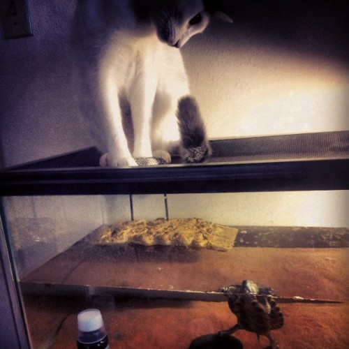 Izzy watching Claes. #cats #turtles #igcats #igturtles  #instacats #instaturtles #kitty #redearslider