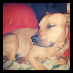 Muore dal #sonno ahahahaha #pitbull #leon #cane #sleepy #thursday #giovedi #love