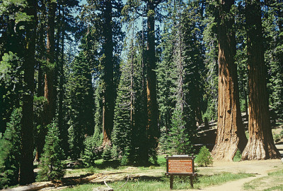 nostalgic-dreaming:  Redwoods, Mariposa Grove, 1960 by lreed76 on Flickr.