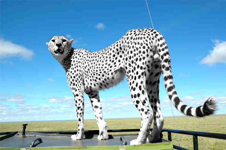 livintheteenthuglife:  I want it… An albino Cheetah :O