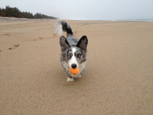 adorabledori:  I have a ball! Throw this ball!!  Unseasonably warm weather (read: 50 degrees) meant a visit to the beach. The devastation from Hurricane Sandy is still prevalent on Misquamicut beach, but thankfully East Beach is in much better shape, so Dori was able to enjoy some off-leash adventures. She did well, only wandering twice to bring her ball to two other beachgoers, insistent they throw it for her too. She may not listen well, but it's with the best of intentions.