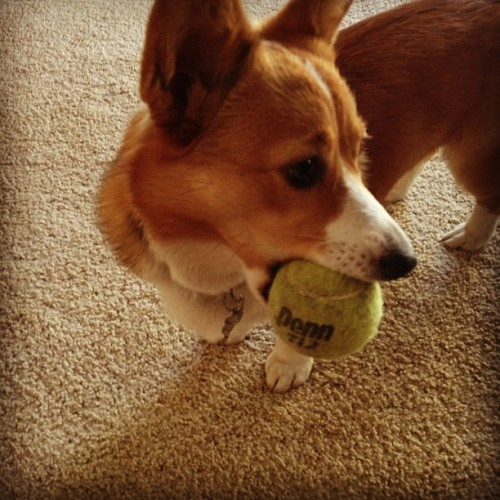 She stole it from Rocky…my little thief. #corgi #mylilybelle