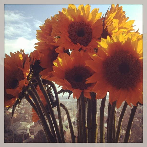 Sunflowers in the sunshine. A beautiful start to March 2013. LIVE LOVE SEE.  #stylemonk #grateful #flowers #sky #bluesky #sunshine #sunflowers #march #ig #instagood #perfection #peaceful #live #bronx #silence #calm #igers #instamood #instadaily #morning #proud #home #nature #pretty #natural  (at home of the Style Monk)