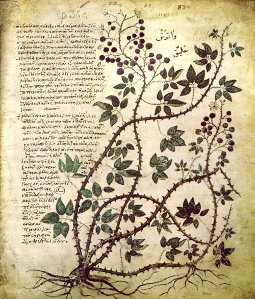 hicockalorum:  myimaginarybrooklyn:  A bramble, from the illuminated Byzantine manuscript 'Vienna Dioscorides.' (CE 512)  always always always reblog  So so so so beautiful my god…