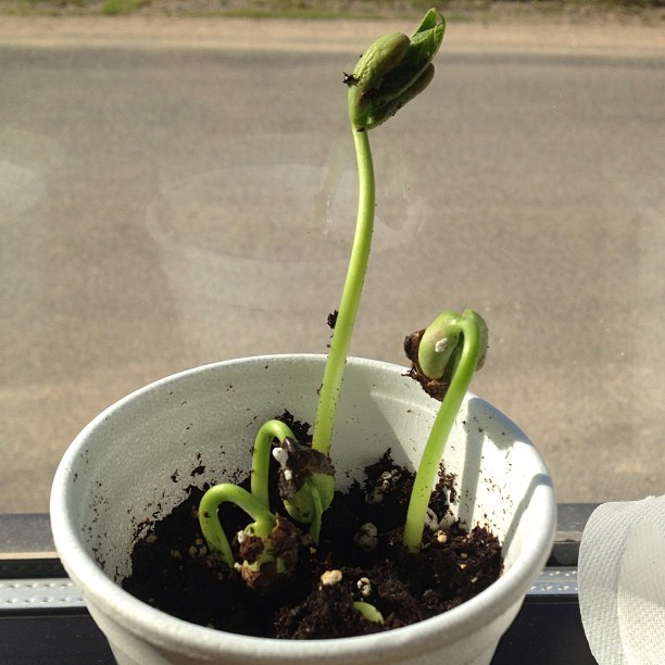 My lil beans are growing well! I needa transplant them!!! <3 #beans!