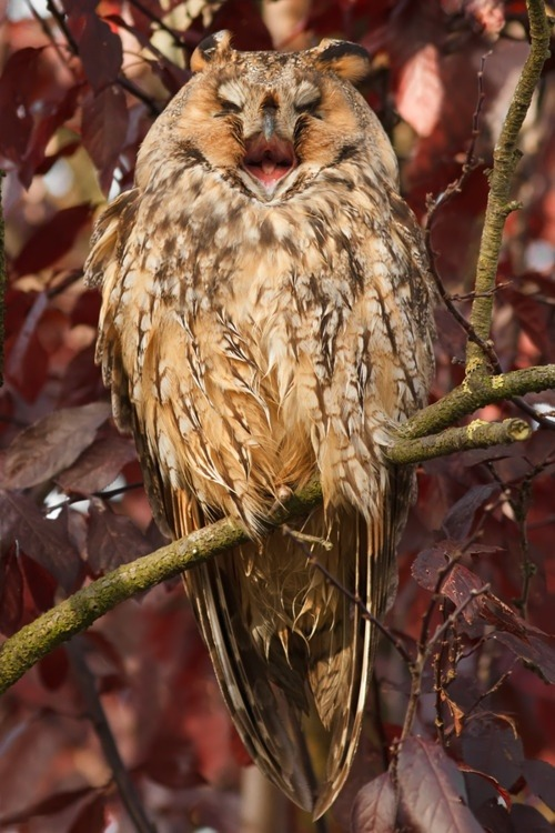 fairy-wren:  long-eared owl(photo by thrumyeye)