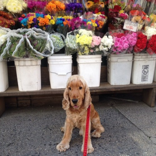 One day I'm going to buy all these for mommy! Lol #jake#jakethegreat#dog#englishcockerspaniel#pet#love#flowers#baby