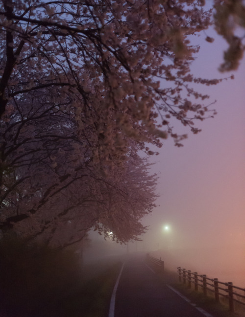 mystic-revelations:  Misty cherry blossom road (by Takashi(aes256))