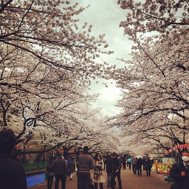 Cherry blossoms in Ueno.