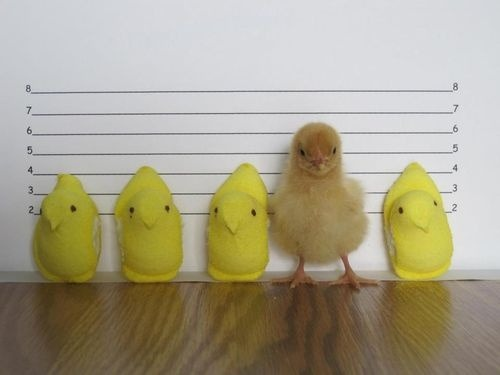 wanafrick:  STOP SCROLLING. Do you see this? Peeps Marshmallow Chicks do not accurately represent a real chick in any way. They are shorter, they are unnaturally yellow, they have little dots for eyes. If Peeps were actual real chicks, they would have serious health complications because they are made of sugar and gelatin. Above all that, if a Peep chick wanted to walk, it could not. It would nosedive, because it has no legs or arms or actually any moving ligaments whatsoever. I hope I inspired chicks everywhere with this message. Remember, when you look in the mirror, it's not you who's ugly. It's society that's ugly.