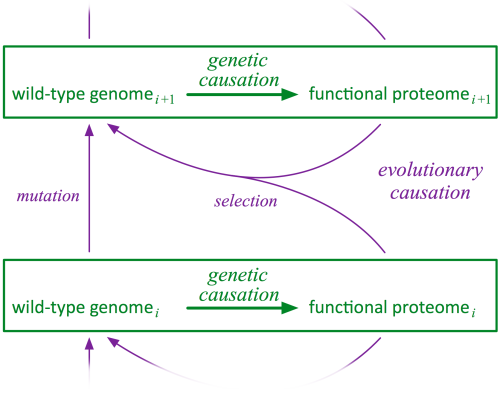 Why Stylus? Stylus is an unique in silico model of gene→protein→function mapping in biology that provides a way to test evolutionary scenarios. This is because Stylus reflects the way mutation and selection work in biology. Mutation (genetic causation) acts at a low level to produce changes to individual genes or segments of the genome. Selection (evolutionary causation) then evaluates the functionality of the resulting organism, i.e. the sum of all interactions between genes and proteins that affect the organism's functional capability. In Stylus, changes to the genome produce variations in the vector traces drawn by the program. Those traces are then compared to a standard Han character set to determine if their meaning is damaged or changed. Because the genome is linear and continuous, and includes sequences that control start and stop, domains that are used in multiple contexts, signals that control operon regulation etc., many of the kinds of sequence evolution proposed by biologists as a way to get new functional proteins or pathways can be tested in Stylus.  As the paper describing the Stylus genome states,   …the contribution of Stylus  is to make evolutionary experimentation possible in a model world where low level genetic causation has the essential role that it has in the real world. Combined with the free Stylus software, the complete Stylus genome made freely available with this paper paves the way for analogy-based studies on a wide variety of important subjects, many of which are difficult to study by direct experimentation. Among these are the evolution of new protein folds by combining existing parts, the optimality and evolutionary optimization of the genetic code, the significance of selective thresholds for the origin and optimization of protein functions, and the reliability of methods used for homology detection and phylogenetic-tree construction.
