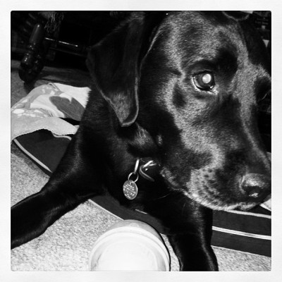 Day 17: Black and White. This is my black beauty, Sadie Marie:) I love her so much. #febphotochallenge #puppy #sadiepup #blacklab #labrador