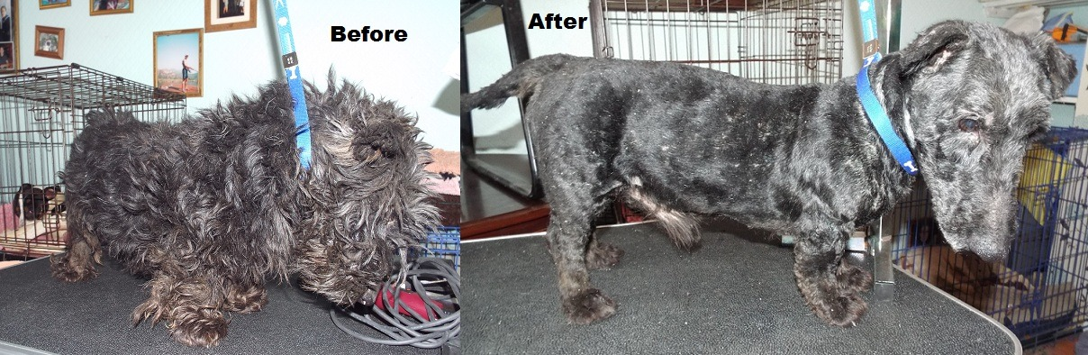 Dog groomer frees a rescued Scottie. via forevermelouiseb