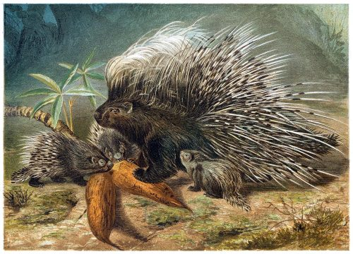 Old World porcupine.  From Brehms Tierleben (Brehm's animal life) vol. 2, under the direction of Alfred Edmund Brehm, Leipzig & Vienna, 1900.  (Source: archive.org)