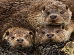 Eurasian Otters, Shetland Islands by Charlie Hamilton James