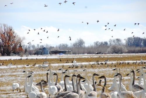 mypubliclands:  Feathered Invasion On February 14, Deer Parks Wildlife Management Unit welcomed about 1500 trumpeter swans, making Valentine's Day 2013 extra special. These swans account for about one-quarter of the entire Rocky Mountain population counted during the annual census. The foraging birds depend on the area's protected river corridor and wetlands for night-roosting. In 1999, the BLM, with assistance from the Conservation Fund, purchased the 2,500 acre area. It is cooperatively managed by the Idaho Department of Fish and Game, the Shoshone-Bannock Tribes and the BLM. -Krista Berumen  It's your land! All yours!