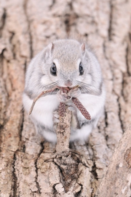 useilism:  queensimia:  thefrogman:  Insanely Cute Siberian Flying Squirrels photographed by Masatsugu Ohashi/Rex USA [source] [h/t: magicalnaturetours]  Because you can never have too much momonga.  I WANT ONE!!!!