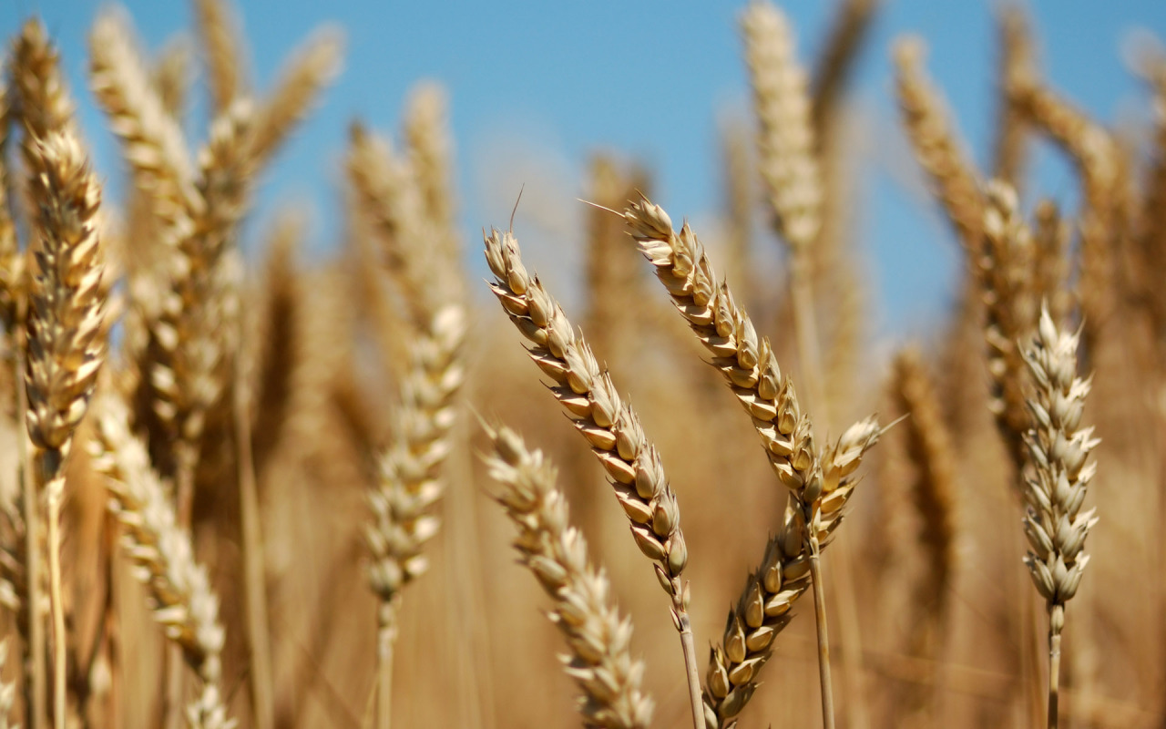 Wheat is in the grass family, Poaceae. It is the third-most produced grain, behind maize and rice.