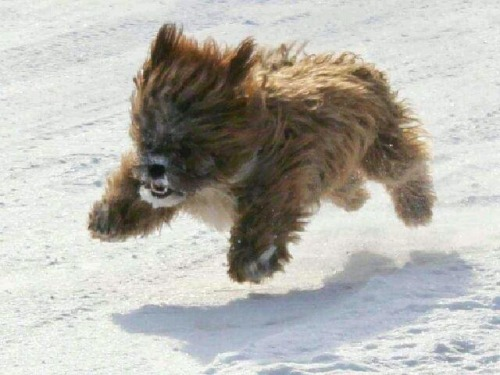 Thank yu internets! A flying mini-chewbaca-hoverdog!!