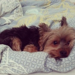 Lazy long weekend.  He's lazy. Lol #yorkie  #toronto #cute #silentsuspekts #asian