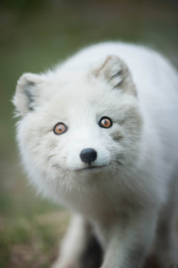 "magicalnaturetour:  ""Arctic Fox"" by Justin Lo"