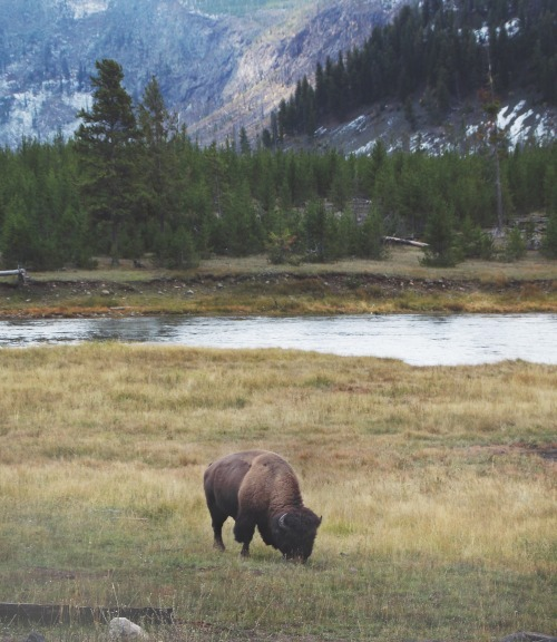 the-lonely-bison-yellowstone-national-park