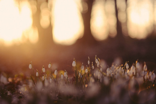 snowdrops at dawn by kirstinmckee on Flickr.