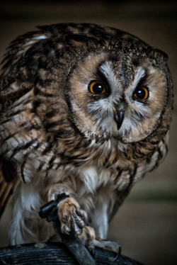 wingedpredators:  Long Eared Owl (Photo by Pranavian)