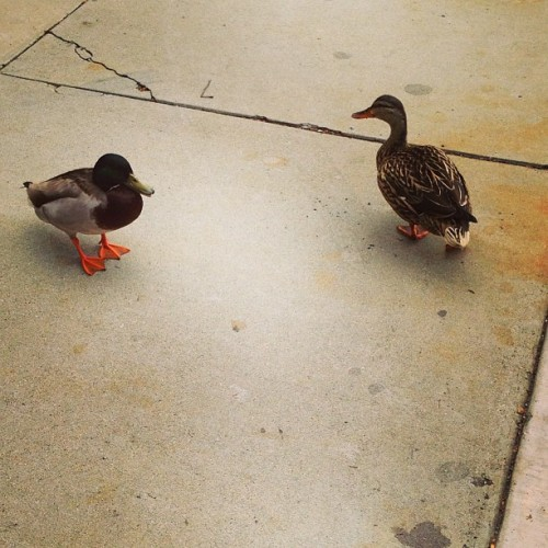 Lost ducks on campus #quackquack #csun