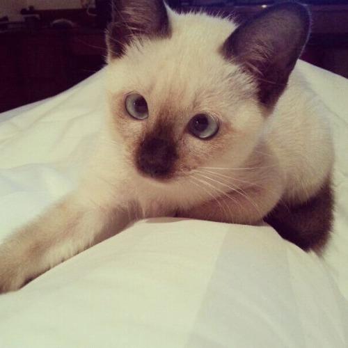 alauire:  My amazing blue eyed cat Abbie :) If this gets any notes please do not change the source xo THIS CAT THOUGH
