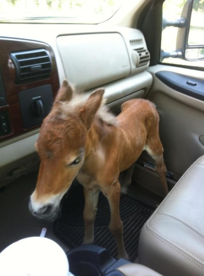 aweh-cute:  My vet friend rescued a abandoned baby mini horse. all of the aww