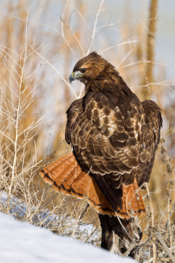 peregrineinastoop:  Red-tailed Hawk by Anatoliy Lukich
