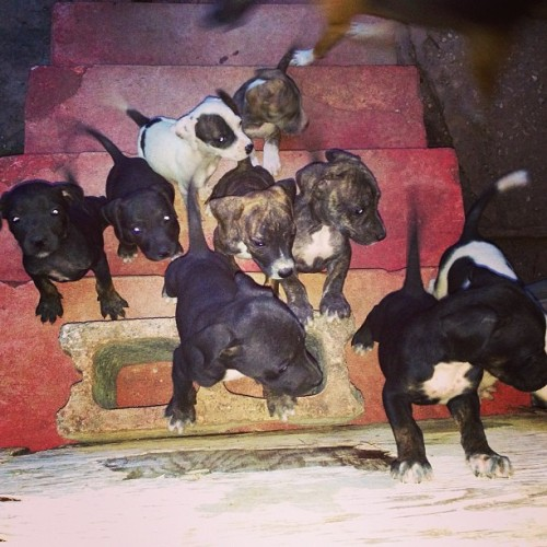 PITBULL PUPPIES FOR SALE 20k #instagram special. 📞Tel: 784-8949 #iphone5 #iphonesia #iphoneonly #iphonephotography #ig #igers #puppies #picstitch #pitbull #dog #cute #instahub #red #blackandwhite #black #andredesignz