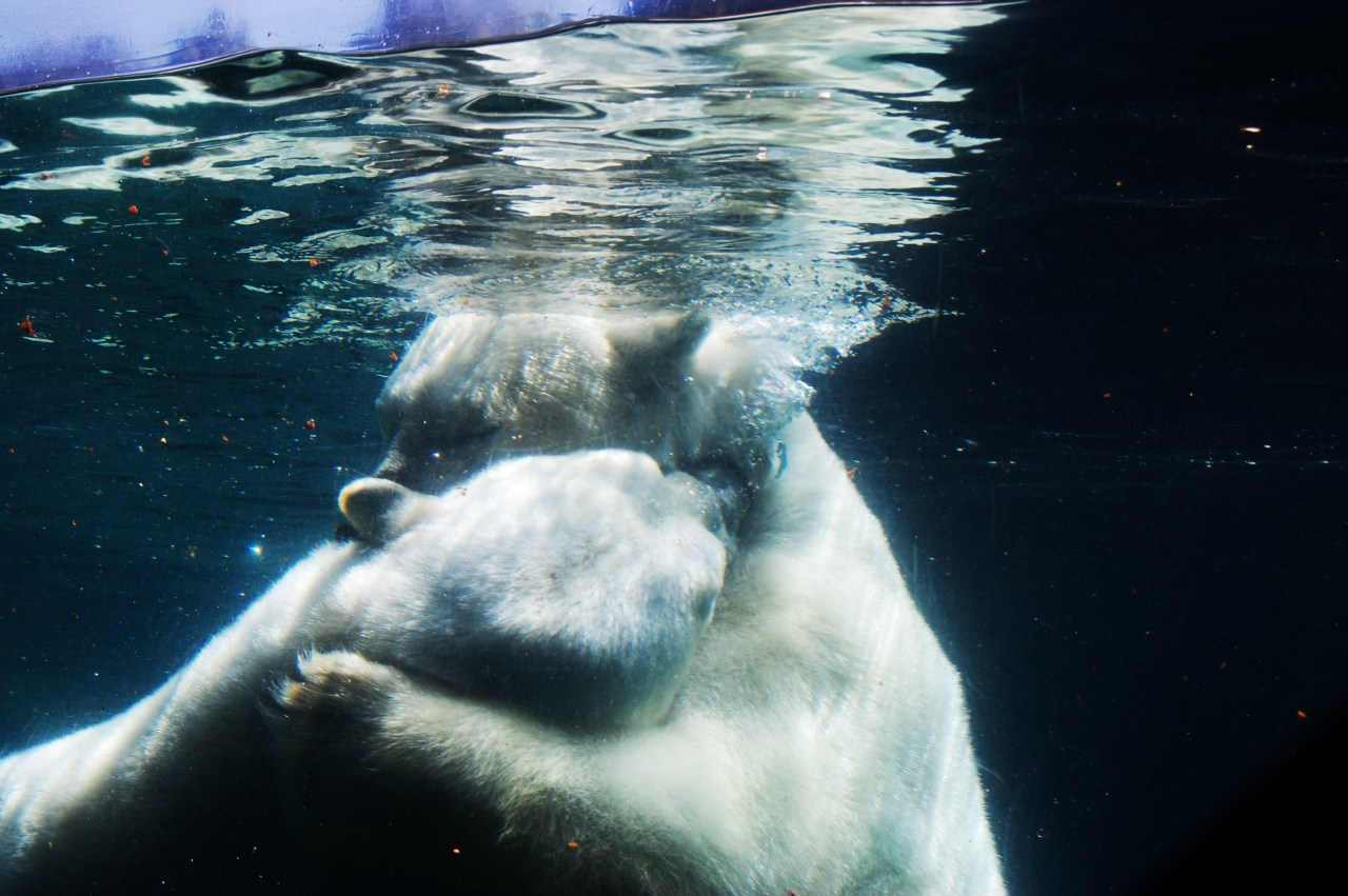 sdzoo:  Polar Bears.  Beautiful submission, thanks!